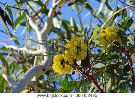 Vibrant Yellow Flowers Of The Mallee Gum Tree Eucalyptus Erythrocorys, Family Myrtaceae. Also Known