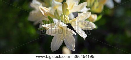 Yellow Flowers Of Azalea