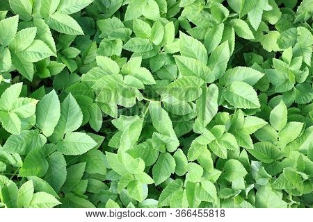 Aegopodium Podagraria, Also The Ground Elder  Or Herb Gerard, Bishop's Weed, Gout Weed.  Natural Bac