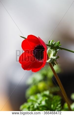 Red Anemone Coronaria, Known As The Poppy Anemone, Spanish Marigold, Or Windflower In Natural Light