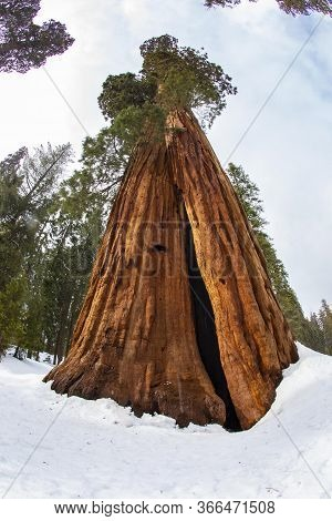 Big Sequoia Tree In Winter In The Sequoia Tree National Park, Usa