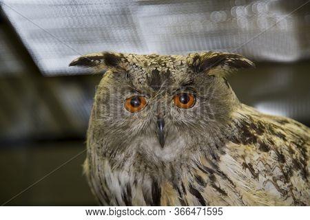 Portrait Of A Beautiful Night Bird Of Prey Kazakh Owl (bubo Bubo) On A Dark Background, Stuffed. Ani
