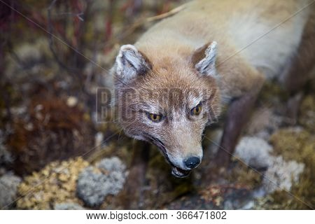 Portrait Of A Beautiful Fluffy Predator, The Kit Fox, Or Swift Fox, Dwarf (lat. Vulpes Velox) On The