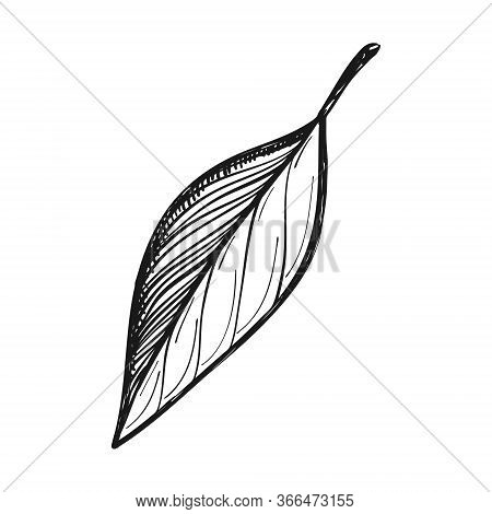 Bay Leaf. Seasoning For Cooking, Cooking. Doodle Style. Drawn By Hand And Isolated On A White Backgr