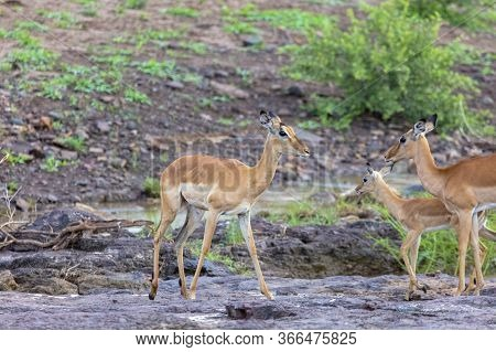 A Female Impala Keeps Watch As Others Feed And Move Through A Small River In Zimbabwe