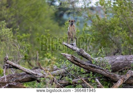 A Baby Baboon Standing On A Fallen Tree Trunk In Zimbabwe