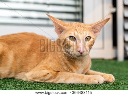 Oriental Red Cat With Big Ears, Clear Eyes And Long Nose On The Green Carpet.