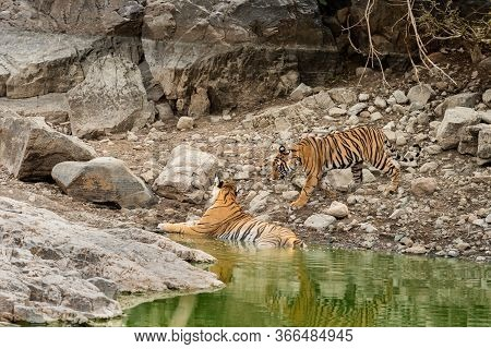 Angry Tiger Cub Coming To His Mother For Cooling Off In Natural Water Body In Hot Afternoon Summer A