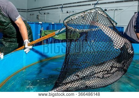 Fishing For Sturgeon With A Net From The Fishing Pool