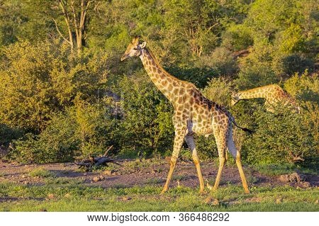 An Adult Giraffe Catches The Late Afternoon Sun As It Grazes At The Edge Of A Forest Clearing. A Sec