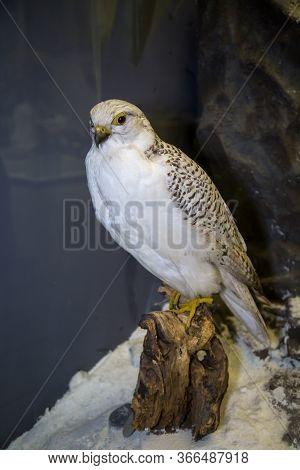 Beautiful Bird Of Prey Gyrfalcon (falco Rusticolus Linnaeus) White On A Dark Background, Stuffed. An