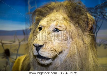 Portrait Of A Beautiful Predator Lion (panthera Leo Linnaeus) With A Purposeful Look On A Blue Backg