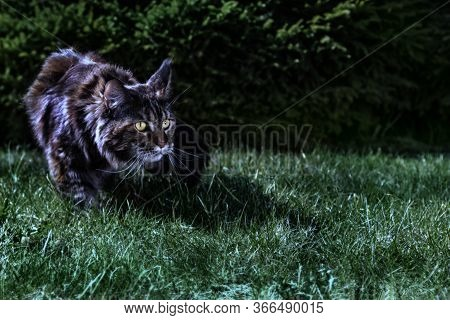 Cat Hunts In The Night Garden. Big Maine Coon Cat Stalks The Grass In The Moonlight. Copy Space.