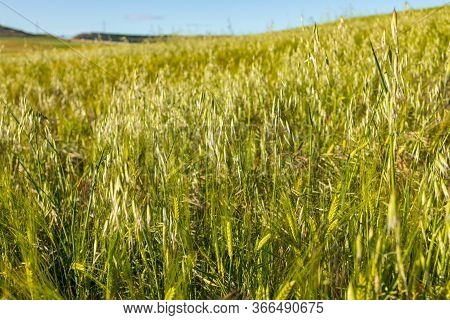 Beautiful Field Of Cereals (wheat, Barley, Oats) Green On A Sunny Spring Day. Space To Insert Your T