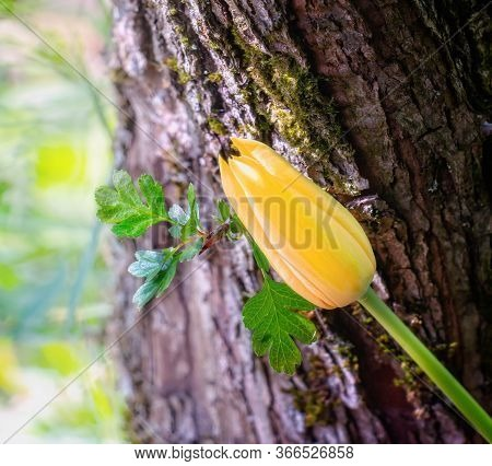 Yellow Tulip On The Stem Of Howthorn With Small Leaves And Sharp  Thorn. Close Up.
