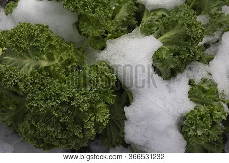 Close Up Of The Frozen Branches And Leaves Of Curly Kale, Leaf Cabbage (brassica Oleracea) Covered I