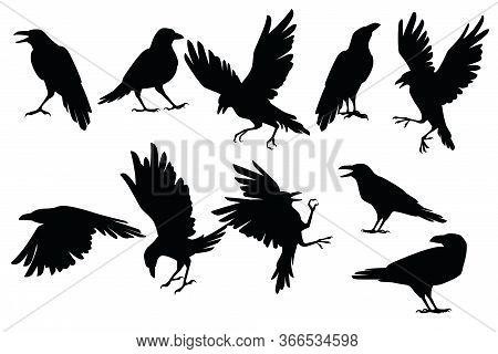 Set Of Black Silhouette Raven Bird In Different Poses Cartoon Crow Design Flat Vector Animal Illustr