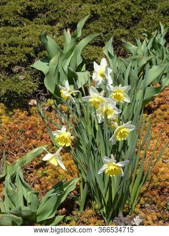 Colorful Narcissuses Blooming On The Flower Bed