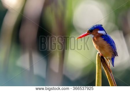 Malachite Kingfisher, A Brightly Coloured Young Male Perched On Reed