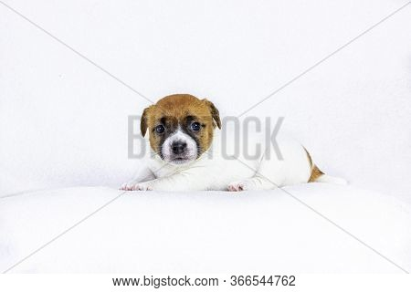 Cute Little Puppy Bitch Jack Rassellezitsya On A White Background