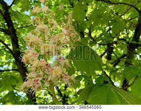A Flower On A Chestnut Tree. Blooming Chestnut In The Spring. The Green Tree Has Blossomed.