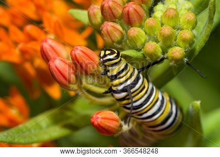 Closeup of a large Monarch butterfly caterpillar feeding on bright orange Butterflyweed buds in summer