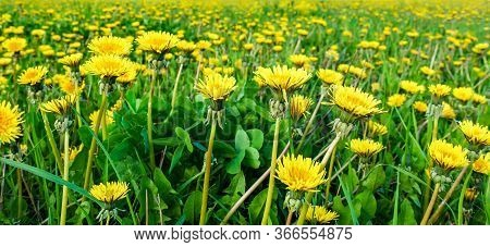 Meadow With Yellow Dandelions. Meadow With Yellow Dandelions.