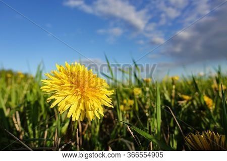 Big Yellow Dandelion Flower In The Grass Against A Blue Sky