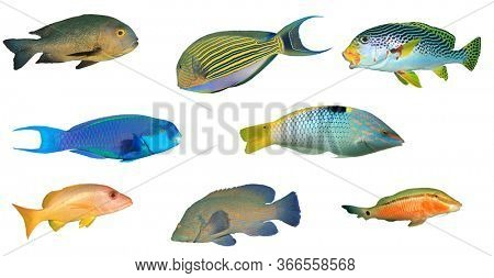 Sea fish isolated. Collection of reef fish cutout on white background. Snappers, Surgeonfish, Sweetlips, Parrotfish, Wrasse, Grouper and Goatfish