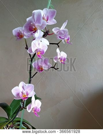 Phalaenopsis Orchid With Many Small Flowers With Purple Veins In A Green Translucent Flower Pot