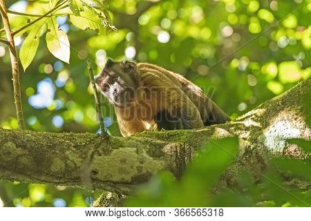 Brown Tufted Capuchin Monkey In The Rainforest Near Alta Floresta, Brazil