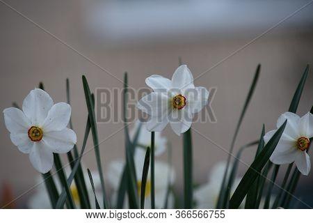 Daffodil Flowers In The Field. Daffodil Flower.