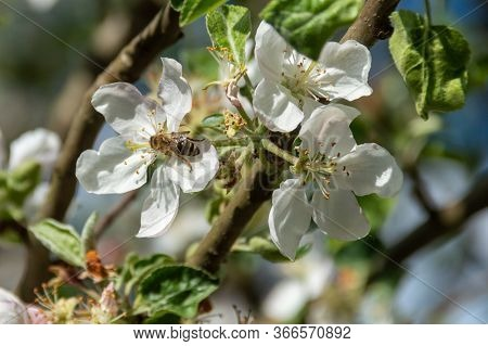 Bee In Apple Flower Pollinating Apple Tree In Spring Blooming Garden. Honeybee Gathering Nectar Poll