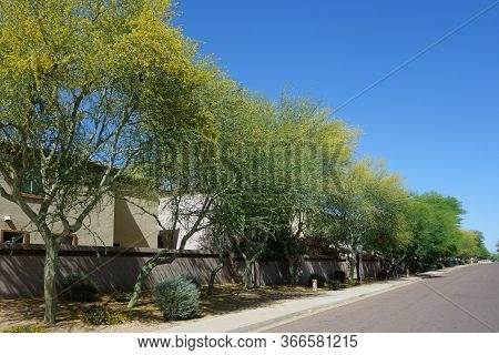 Blooming Palo Verde With Striking Colorful Flowers Along Xeriscaped Public Residential Street, Sprin