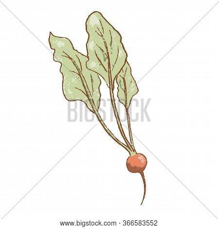 Fresh Raw Ripe Radish Vegetable Isolated Icon. Spring Garden Radish. Rareripes. Hastings, Farm Marke