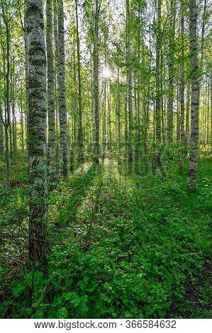 White Tree Trunks Of Birchs In Kumla Sweden