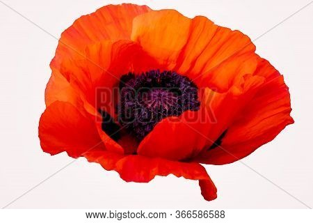 Poppy Red Flower Isolated On A White Background. Isolate Inflorescence Of Garden Poppy. Totally Open