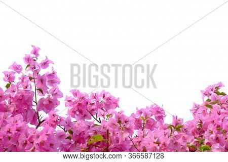 A Sweet Pink Bougainvillea  Flower Blossom In Botanical Garden On White Isolated Background With Cop