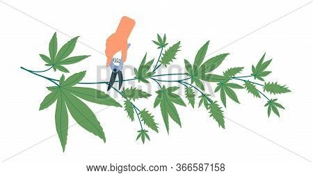 Pruning Cones From Hemp Bush. Preparation Of Cannabis For Further Use For Medical And Recreational P