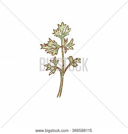 Bunch Of Fresh Green Cilantro Twigs Isolated Icon. Spring Rareripes. Hastings, Farm Market, Vector I