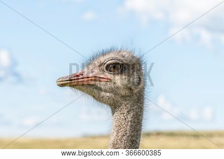 Close-up Profile Of The Face Of A Male Ostrich At Uithoek Near Fouriesburg In The Free State Provinc