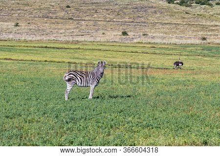 Side View Of A Burchells Zebra With A Male Ostrich Running In The Back