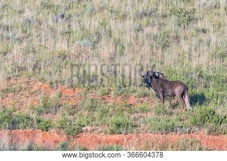 A Black Wildebeest, Connochaetes Gnou, On The Slope Of A Mountain At Uithoek Near Fouriesburg In The