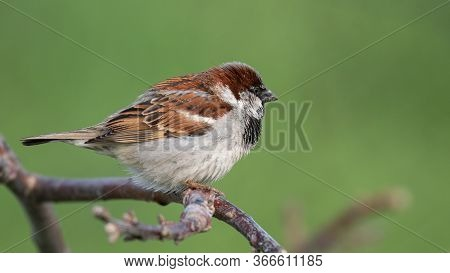 Male House Sparrow, Passer Domesticus, On A Green Background.