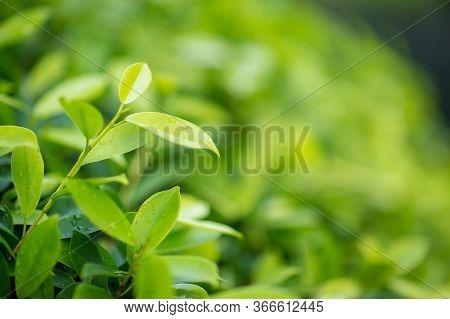 Fresh Tea Bud And Leaves.tea Plantations. Natural Green Plants Landscape, Ecology, Fresh Wallpaper C