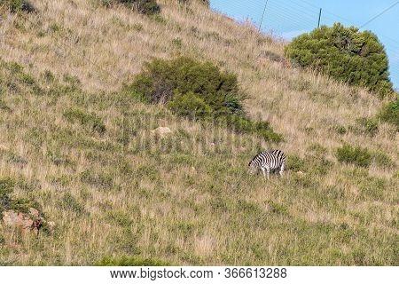 A Burchells Zebra, Equus Quagga Burchellii, On The Slope Of A Mountain At Uithoek Near Fouriesburg I