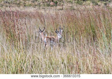 Three Springboks, Antidorcas Marsupialis, Between Tall Grass At Uithoek Near Fouriesburg