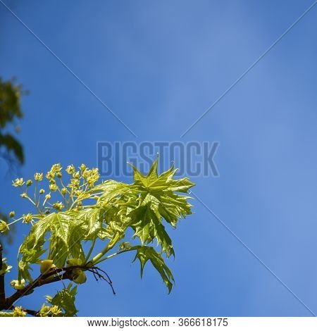 Maple Tree Flowers And New Leaves On A Twig By A Blue Sky