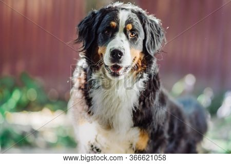 Bernese Mountain Dog Lying On Grass During Fall Day