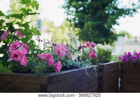 Petunia In Wooden Container Flower Pot Outside, Outdoors Planting Landscaping, Vertical Stock Photo